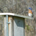 male bluebird cropped